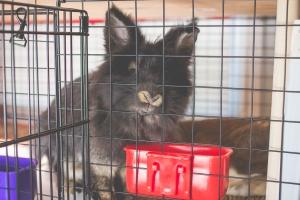 Emerson - Lionhead House Rabbit