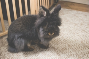 Emerson - Dark Lionhead House Rabbit